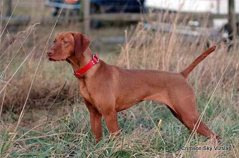 Vanguard Vizslas Roxie Ariel puppy 01