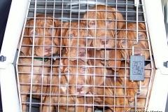 Amber Ruger pups