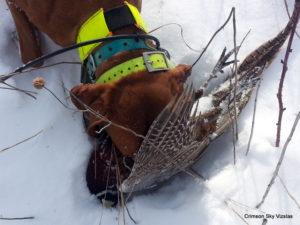 Gauge hunting pheasants